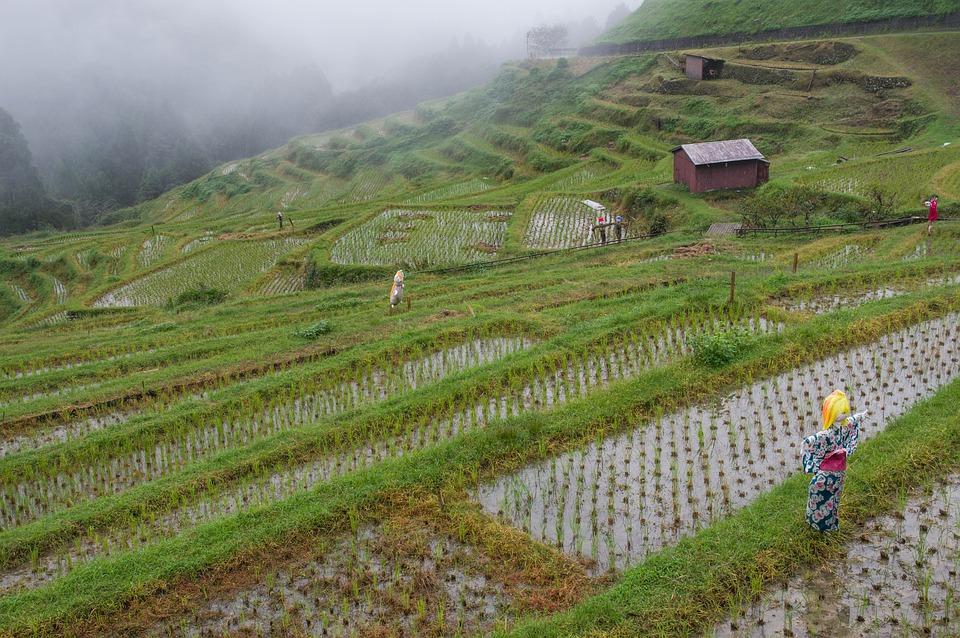 япония рисовые поля